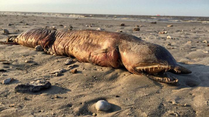"""Неизвестное существо выбросил ураган """"Харви"""" на пляж в Техасе"""