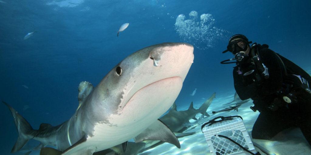 В пасти у тигровой акулы, уникальные снимки